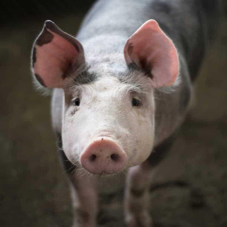 nuôi lợn không lỗ