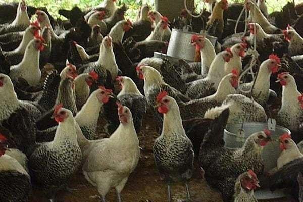 nuôi gà Ai Cập