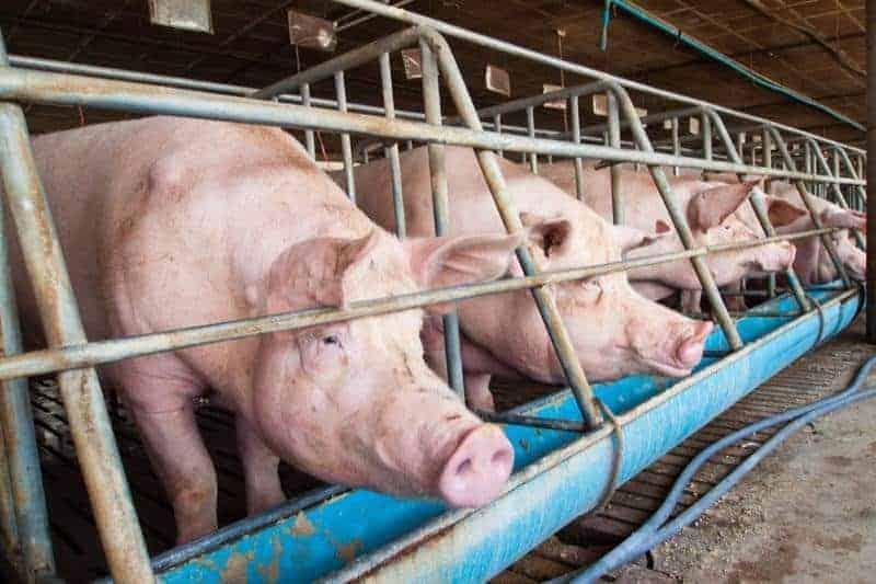 thiết kế chuồng nuôi lợn