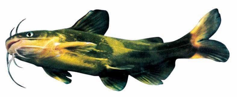 bệnh nuôi cá bò