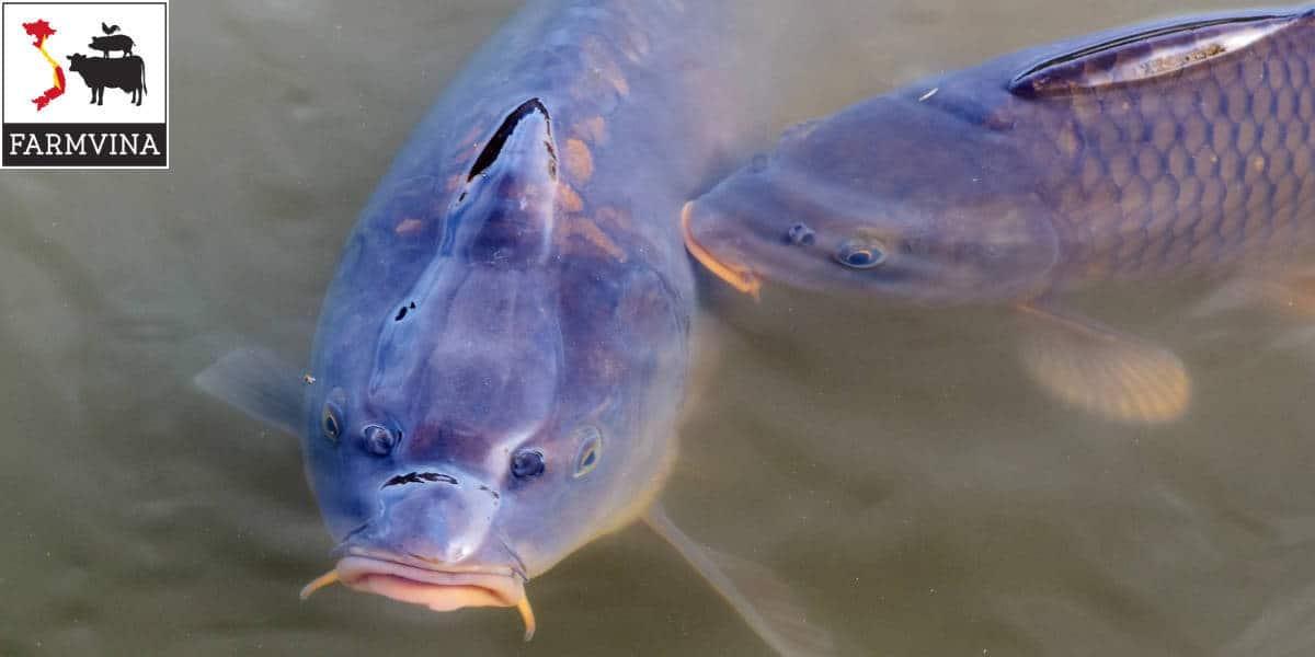 bệnh nuôi cá chép