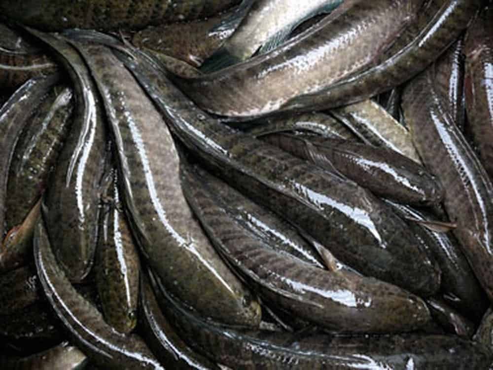 bệnh nuôi cá lóc