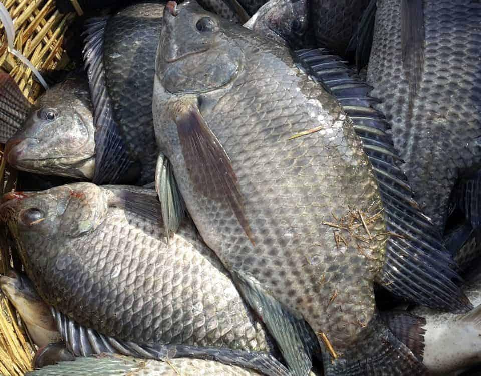 bệnh nuôi cá rô phi