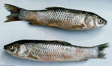 bệnh cá trắm trắng