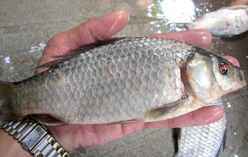 bệnh nuôi cá diếc