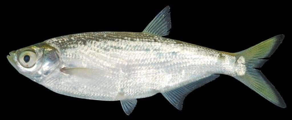 bệnh nuôi cá thiểu