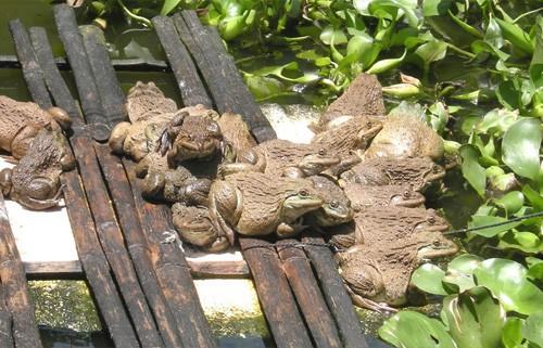 bệnh của ếch