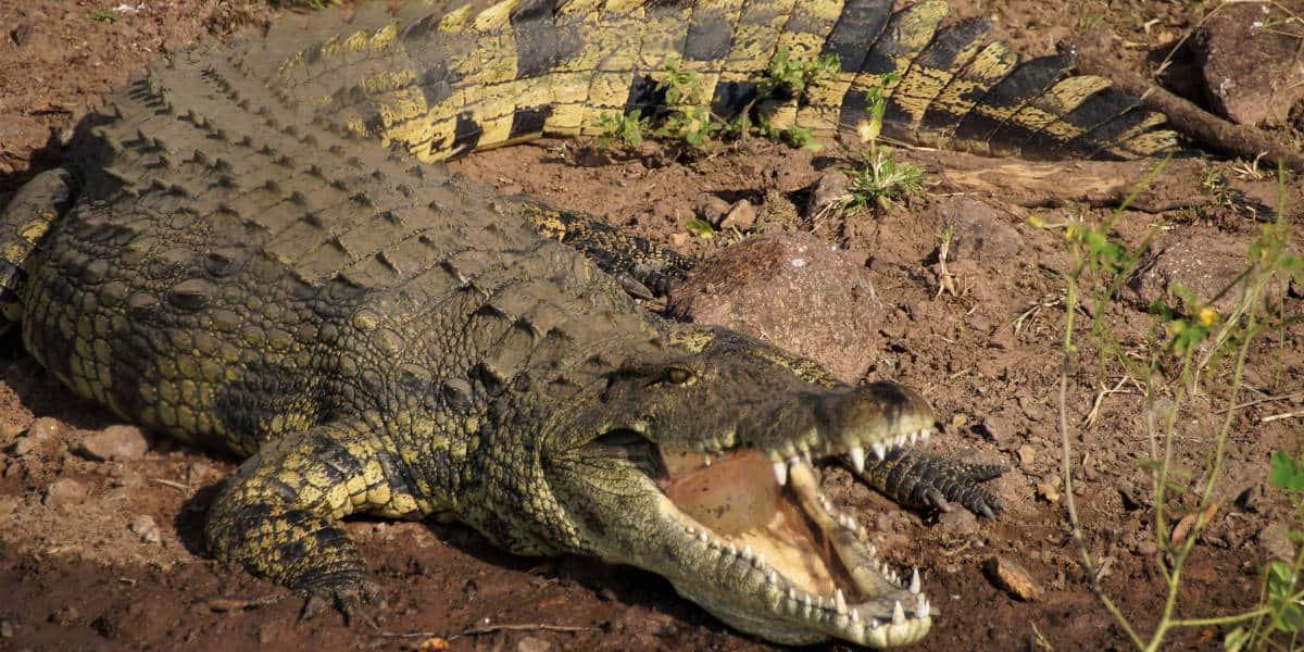 cá sấu giống