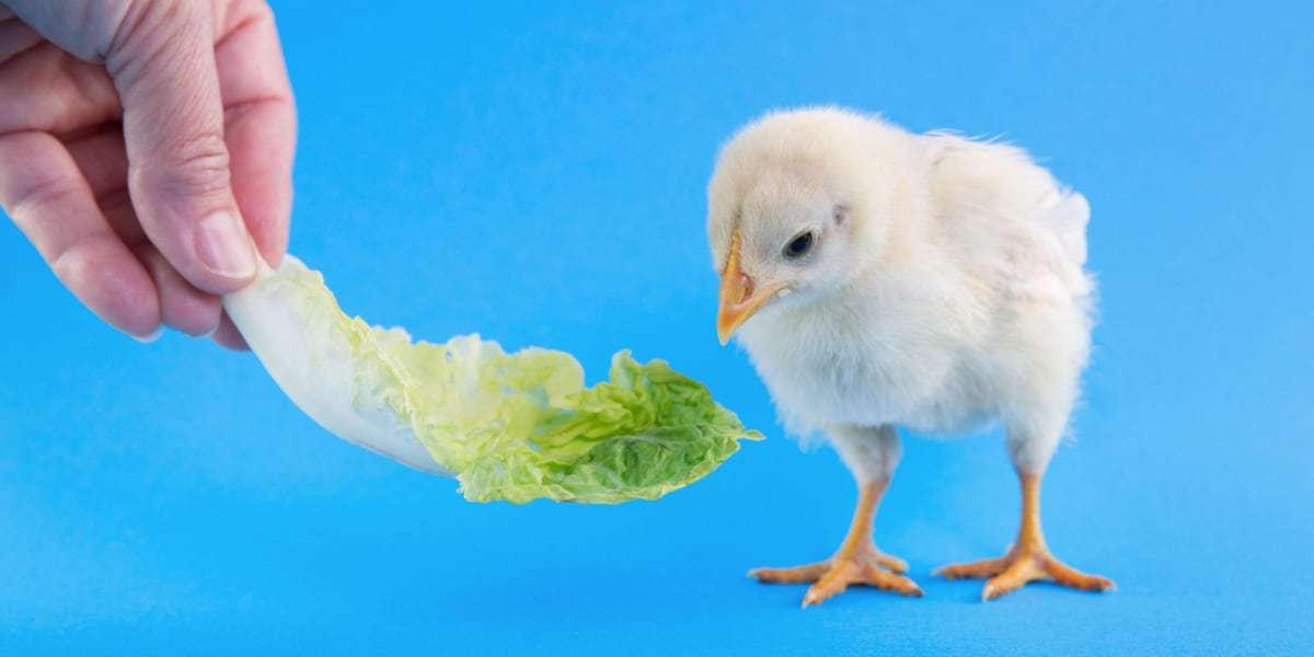 Giảm chi phí thức ăn nuôi gia cầm