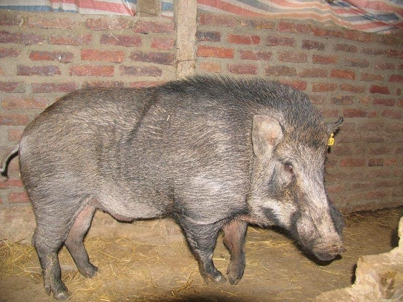 lợn rừng Thái Lan