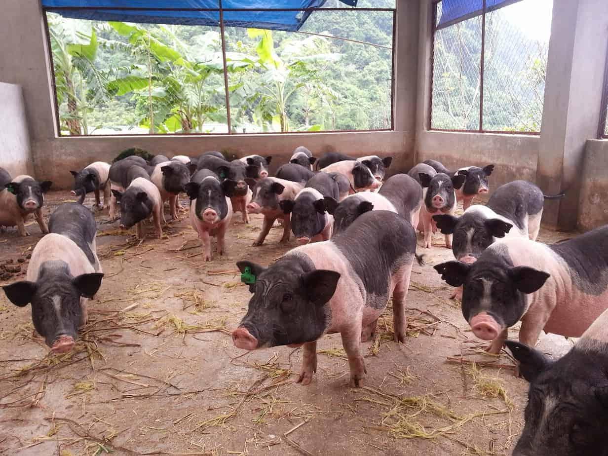lợn Móng Cái