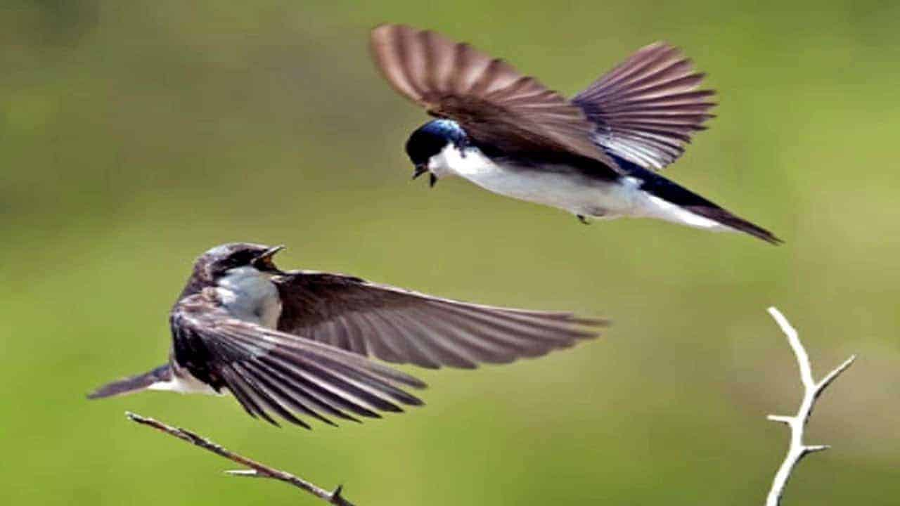 chim yến