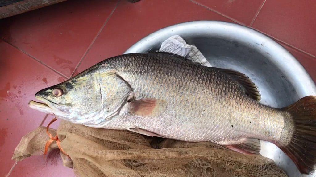 cá vược