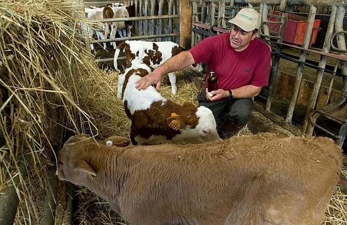 chữa bệnh cho gia súc bằng Đông y
