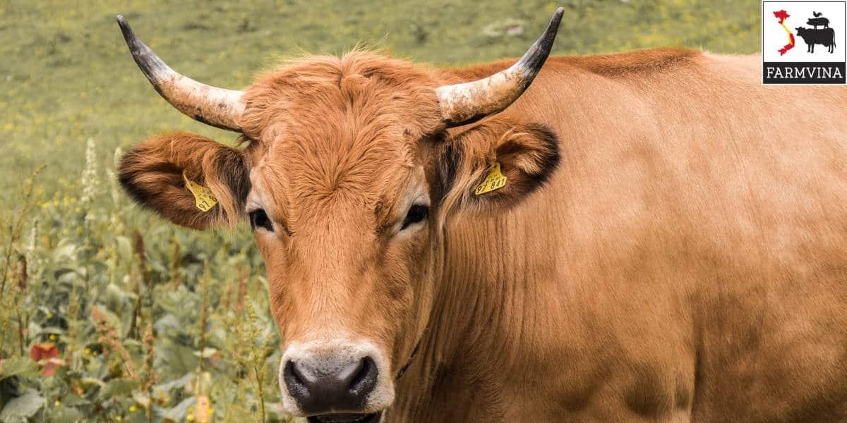 cách tính khối lượng trâu bò