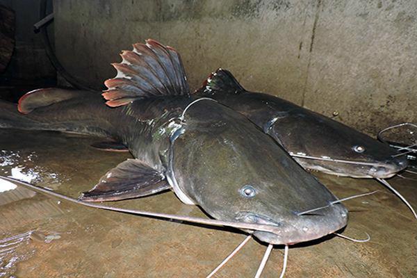 mồi câu cá lăng