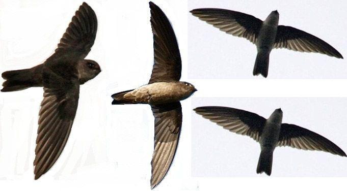chim yến con