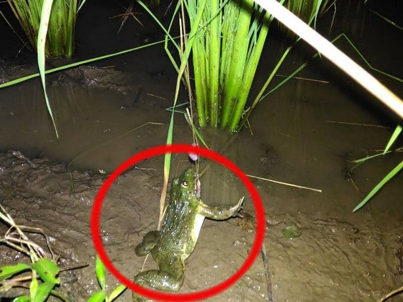 câu ếch đồng