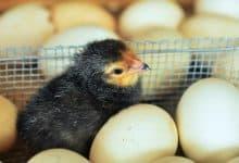 gà siêu trứng giống