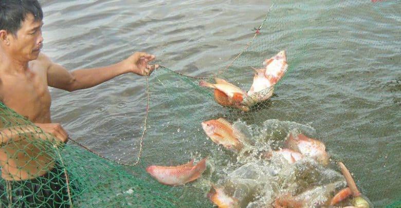 giá cá diêu hồng