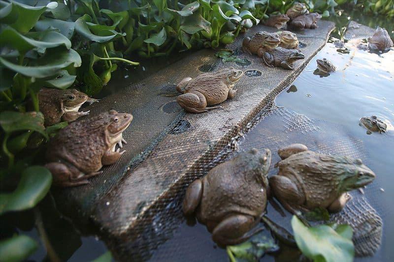 nuôi ếch không thay nước