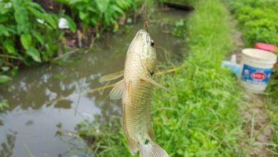 câu cá rô đồng