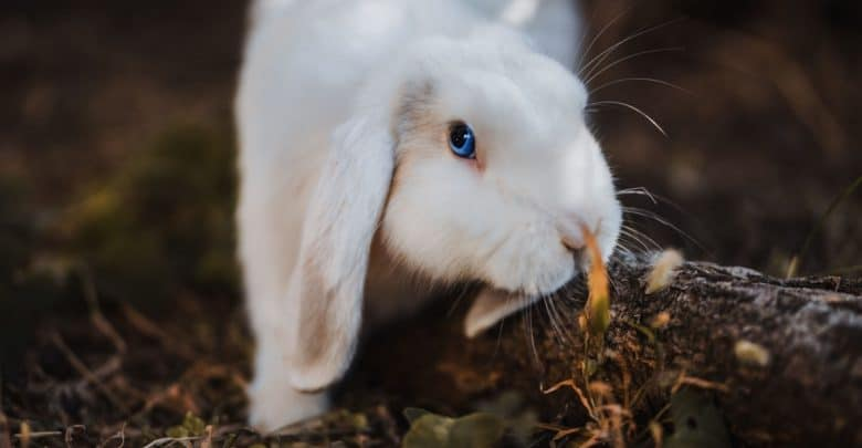 thỏ new zealand