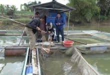 kinh nghiệm nuôi cá điêu hồng