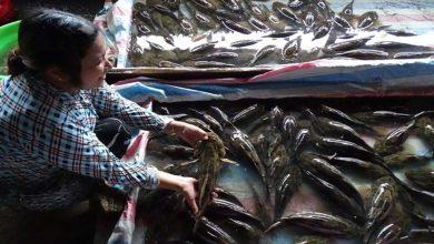 cá bống tượng giống