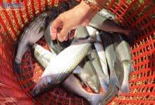 nuôi cá đối mục