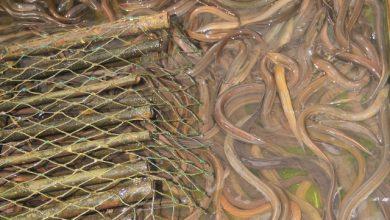 bệnh nuôi lươn