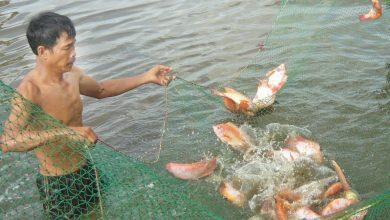 nuôi cá điêu hồng sau vụ tôm