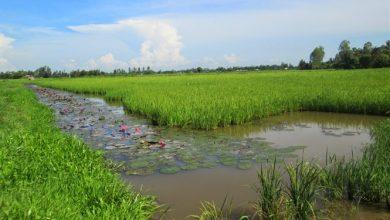 nuôi lươn ruộng lúa