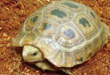 rùa vàng