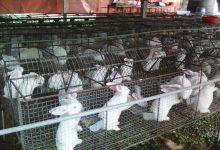 nuôi thỏ làm giàu
