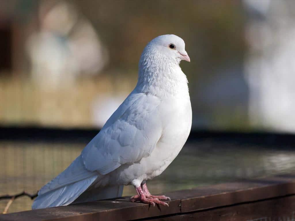 nuôi chim bồ câu
