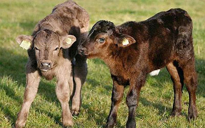 chống rét cho trâu bò