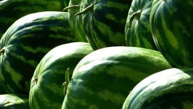 trồng dưa hấu đông xuân