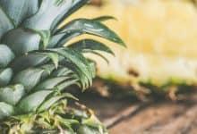 trồng dứa