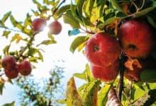 trồng táo