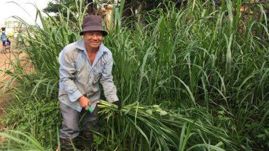 trồng cỏ nuôi bò