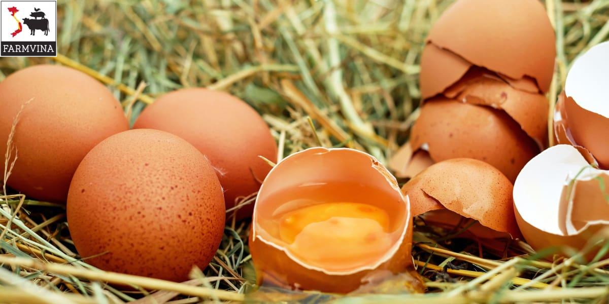 gà đẻ trứng non