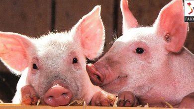 lợn cái