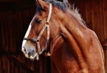ngựa giống