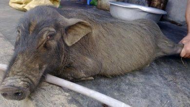 Lợn tên lửa