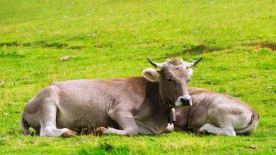 Trâu bò