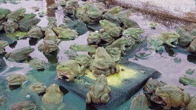 Nuôi ếch