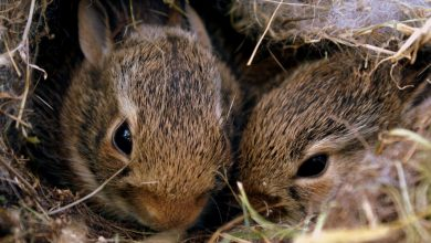 các giống thỏ