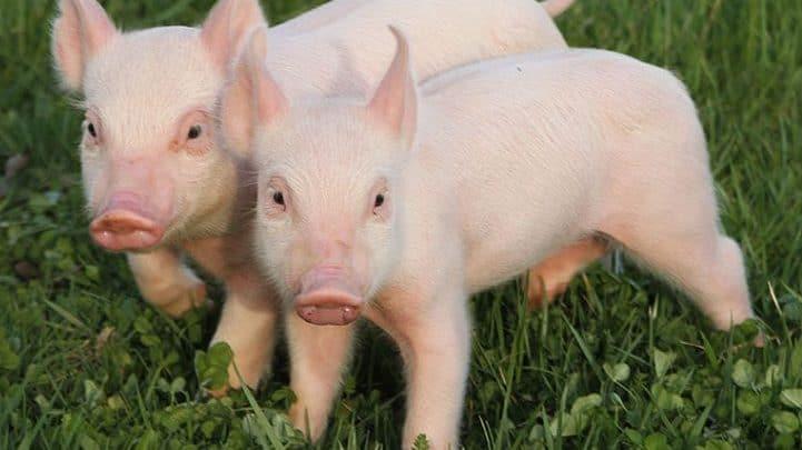 lợn con