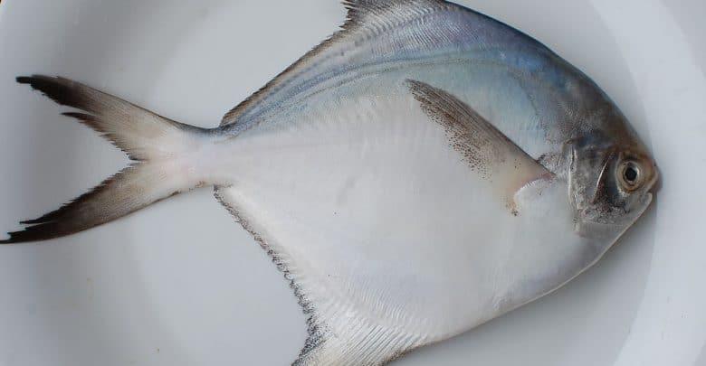 cá chim biển